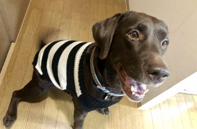 ラブラドールのボーダーセーター(『かわいい犬の手編み服』掲載作品)